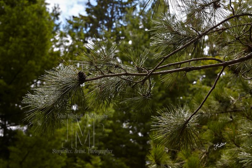 Light on Pine Needles