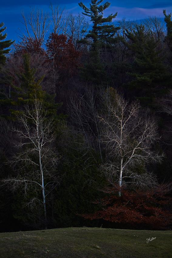 Birch Trees at Dusk